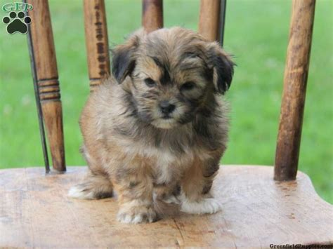 shorkie puppies for sale in pa 1000 ideas about shorkie puppies for sale on puppies for sale yorkie and