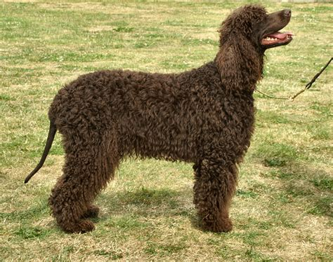 Index of /wp-content/gallery/irish-water-spaniel
