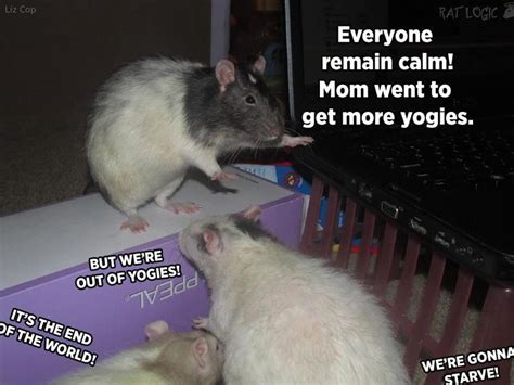 Rodent Meme - 45 best rat memes images on pinterest rodents hamsters