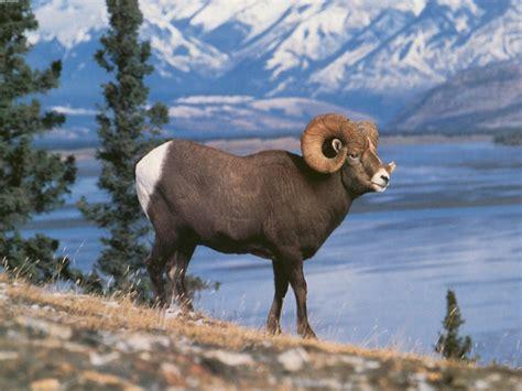 mountain ram rocky mountain sheep quot big horn quot free computer desktop