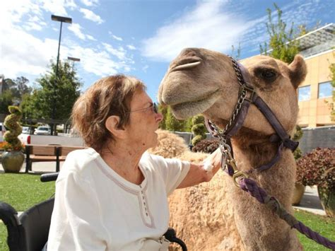 Detox Walnut Creek Ca by Camel Therapy Animals Brighten Day For Rehab Patients