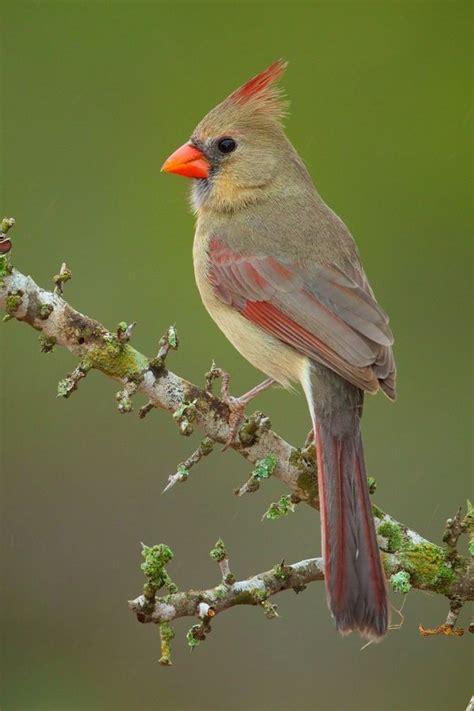 the 25 best cardinals ideas on pinterest cardinal birds