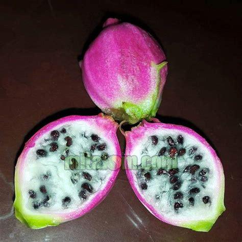 Pupuk Untuk Bunga Agar Subur 6 tips membuat tabulot buah naga mini agar subur dan