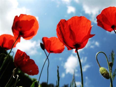 papavero fiore erbe officinali curiosit 224 sul papavero il fiore di