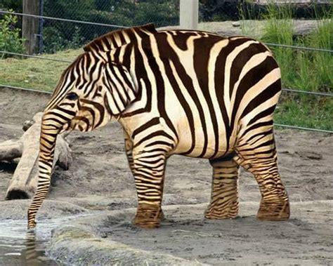 elephant looks like a zebra rumble