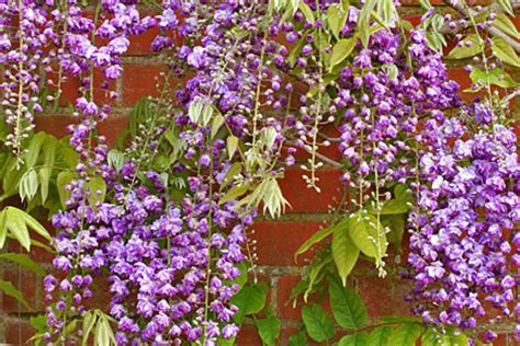 climbing plants facing wall climbers and wall shrubs for sun rhs gardening