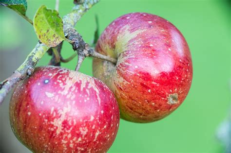 Pdf Holistic Orchard Fruits Berries Biological by Fruit Of The Vale Orchard Survey Project A Forgotten