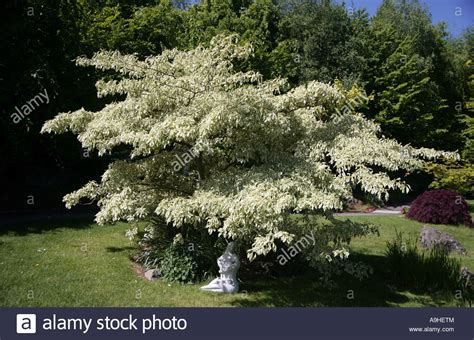 Hochzeitstorte Baum by Cornus Controversa Variegata Wedding Cake Tree National