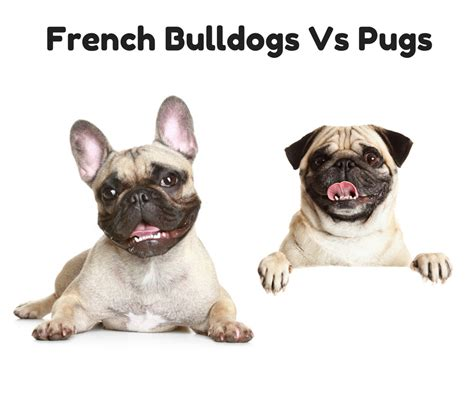 bulldog vs pug bulldogs vs pugs