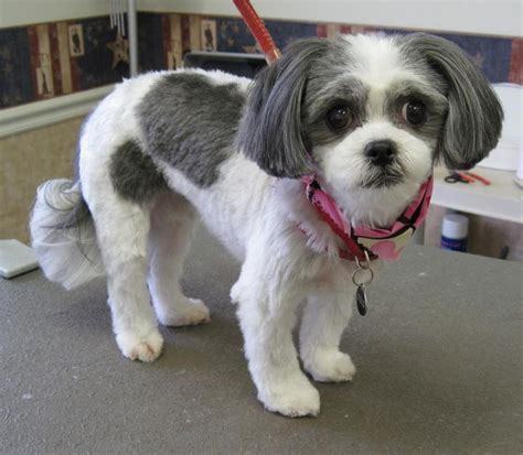 hair styles for shih tzu dogs 17 best images about shih tzu haircuts on pinterest