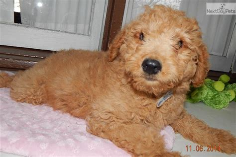 goldendoodle indiana goldendoodle puppy for sale near south bend michiana