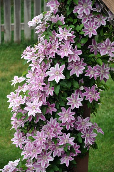 clematis vine home garden ideas pinterest