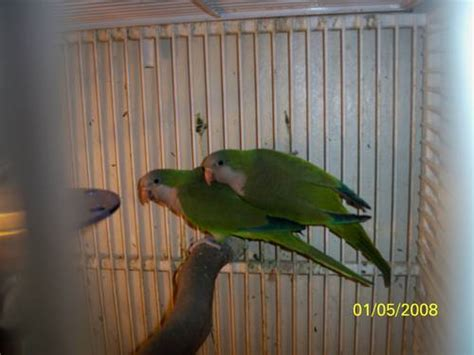 green quaker parrots for sale chicago usa free