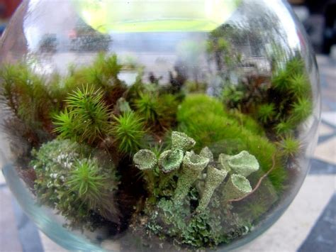 small moss terrarium kit moss lichens resurrection fern soil