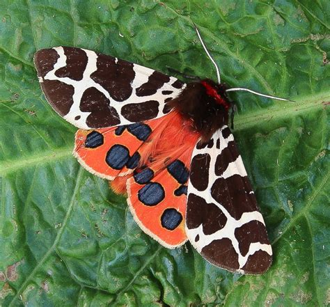 Garden Tiger Moth by The Moths Of Glendale Isle Of