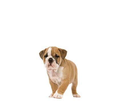 Royal Canin Bulldog Junior 3kg Makanan Bulldog Puppy bulldog puppyvoer rasspecifieke voeding voor bulldog