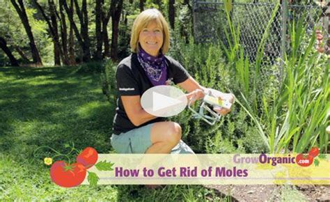How To Get Rid Of Moles In The Backyard by 1000 Images About Rodents Squirrels Moles On