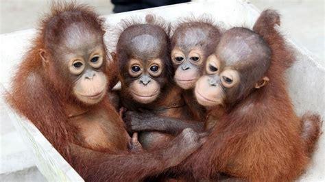 la tragedia degli oranghi  delle fiamme che avvolgono il