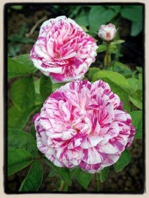 imagenes de rosas tricolor debate el encanto de las rosas p 225 gina 3 grupos