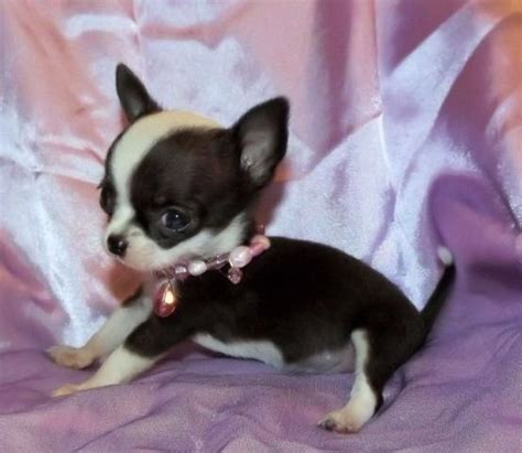 apple chihuahua puppies for sale links apple chihuahua puppies for sale