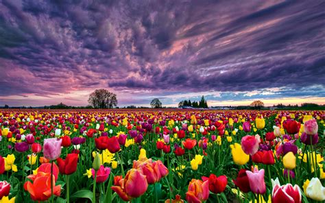tulip fields tulip field computer wallpapers desktop backgrounds