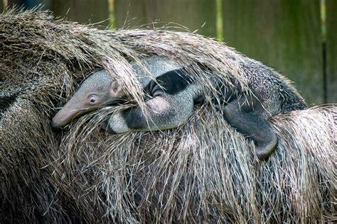 baby giant anteater rides   family  houston zoo