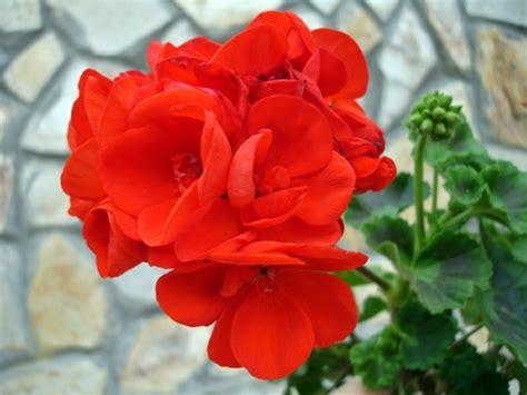 easy care flowering shrubs green house plants flowering easy care potted plants