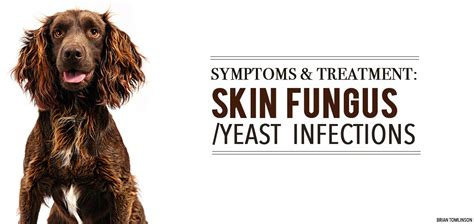 pug yeast infection treatment symptoms treatment for skin fungus yeast infections soos pets soos pets