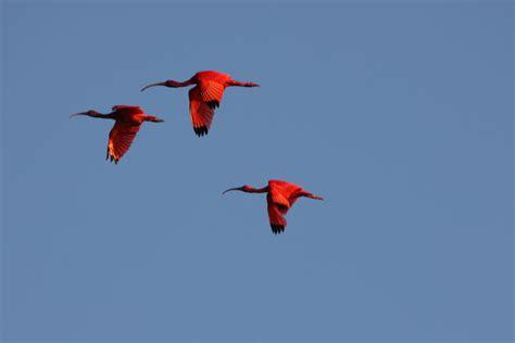 scarlet workflow file scarlet ibis eudocimus ruber 4090204788 jpg