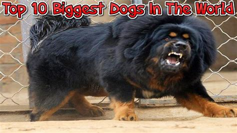 7 Dogs That Make The Best Accessories by Top 10 Dogs In The World Best Compilation