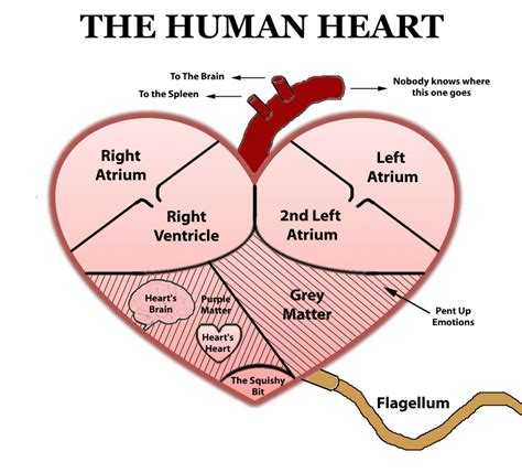 the heart is a simple diagram of the human heart anatomy organ