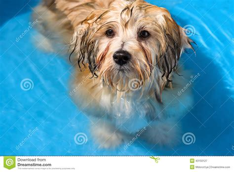 golden havanese havanese puppy is bathing in a blue water pool stock photo image 43150127