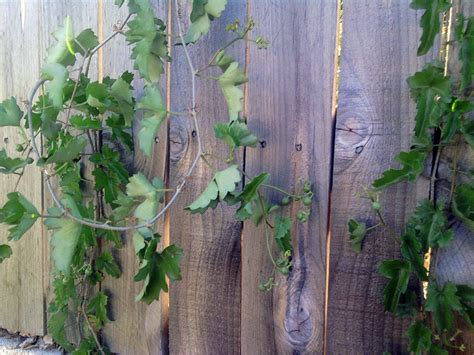 my ate grapes but seems grapes in the backyard mustang appointed fence garden san antonio