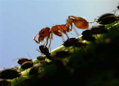 do ants eat aphids aphids also greenflies blackflies get rid of these