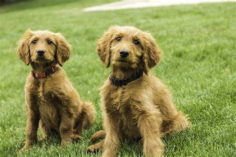 goldendoodle puppies new and goldendoodle puppies placed