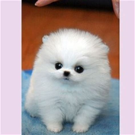 pomeranian mini teacup pomeranian pomeranians and miniature on