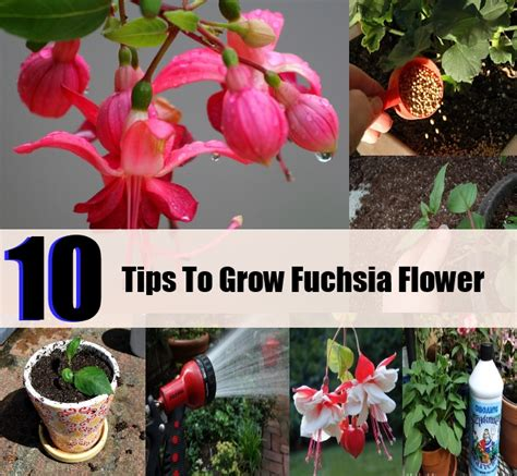 10 Tips On Growing Great Plants This Summer by 10 Tips To Grow A Fuchsia Flower Diycozyworld Home