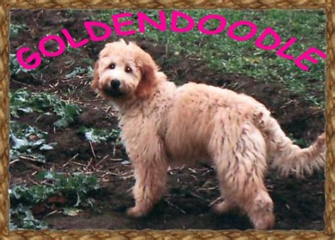 mini doodle hund der goldendoodle