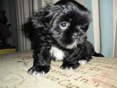 black shih tzu for sale shih tzu puppy for adoption breeds picture