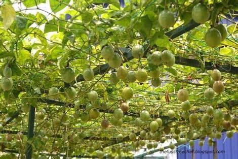 passionfruit trellis vine trellis passion fruit plant