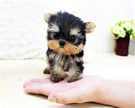 yorkie terrier mini en adopcion perros barato en tarragona