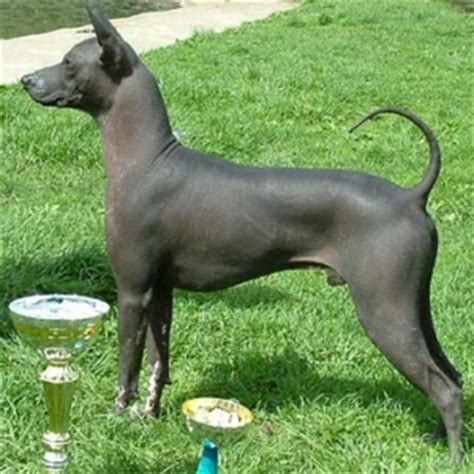 mexican breeds xoloitzcuintli mexican hairless info temperament puppies pictures