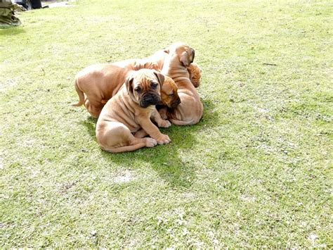 boerboel puppies for sale boerboel puppies for sale orpington kent pets4homes