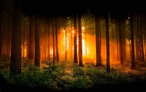 forest dawn tree sun rays nature hd wallpaper