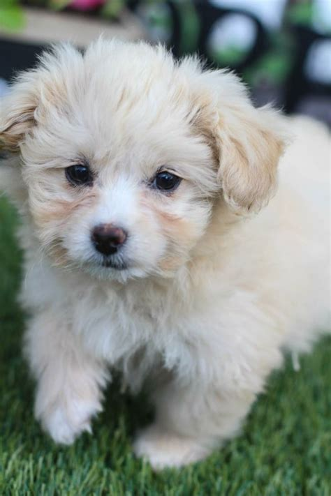 maltese yorkie puppy 16 best images about puppy on chihuahuas poodles and yorkie
