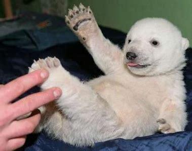 Science Monday Knut Is An Animal Psychopath by A Polar Called Knut Neatorama