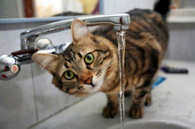 getting your cat to drink more water the pet product guru