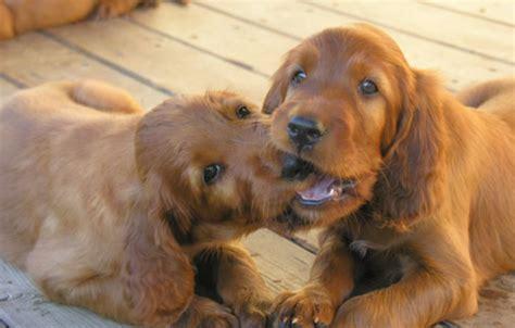 irish setter dog cost two irish setter puppies playing png
