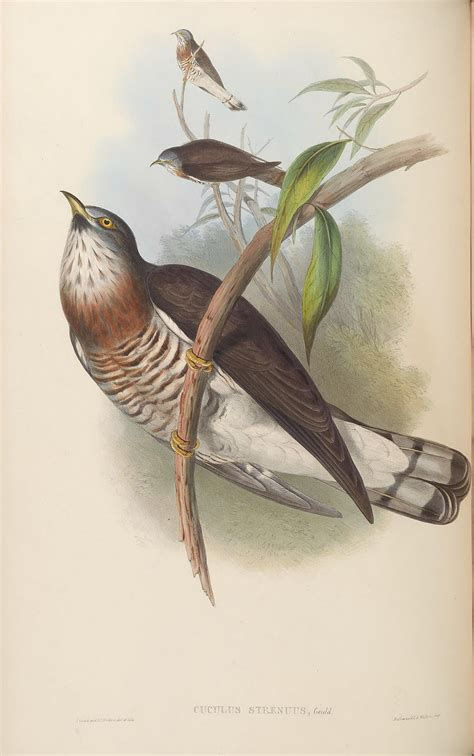 large hawk cuckoo wikipedia
