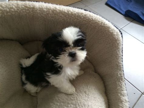 black shih tzu puppies for sale shih tzu puppies for sale uk newhairstylesformen2014